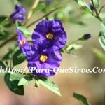 ¿Para Qué Sirve El Natre Como Planta Medicinal?