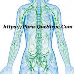 Para Qué Sirve El Sistema Linfático Enfermedades Y Tratamientos