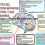 Para Qué Sirve El Sistema Nervioso Central y Periférico.