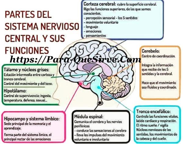 Para Qué Sirve El Sistema Nervioso Central y Periférico. julio - 2018