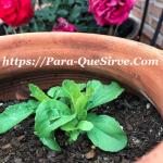 Para Qué Sirve La Stevia Como Planta Medicinal