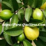 ¿Para Qué Sirven Las Hojas De Guayaba Como Planta Medicinal?