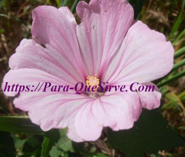 Para Que Sirve La Malva Silvestre Planta Medicinal