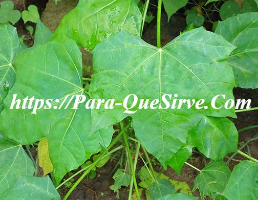 Para Qué Sirve La Chaya Planta Medicinal En El Cáncer