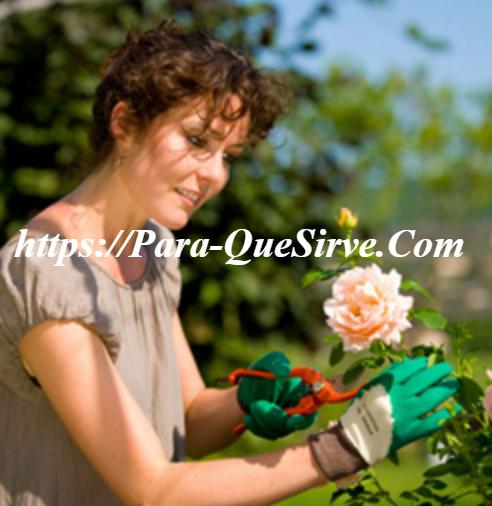 ¿Para Qué Sirve Podar Las Rosas En Invierno?