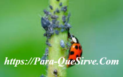 Pulgones En Las Plantas Y Remedios Caseros.
