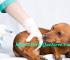 ¿Para Qué Sirve El Tratamiento De Hepatitis En Perros? ¿Es Contagiosa A Los Humanos?