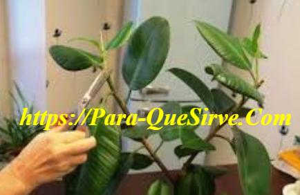 Enfermedades Que Afectan Al Ficus Elástica Tineke.