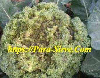 Control De Plagas Y Enfermedades Del Brócoli