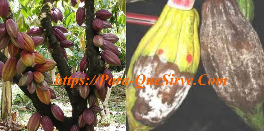 Manejo Integrado De Plagas Y Enfermedades Del Cultivo De Cacao