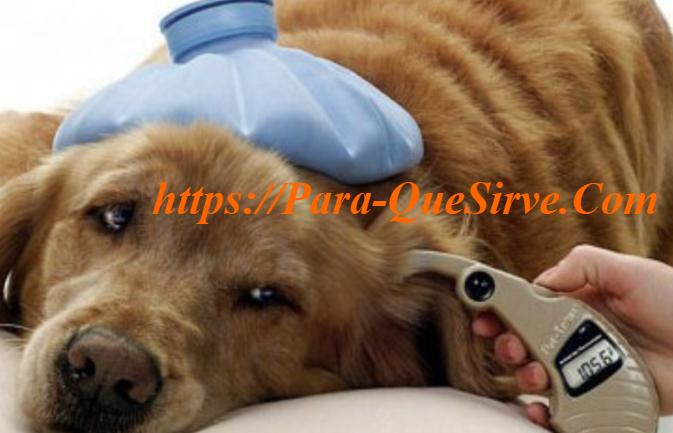 Diabetes En Perros, Síntomas Y Tratamiento Oral.
